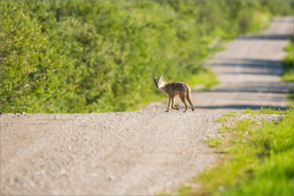 Gravel road Coyote - © Christopher Martin-9898