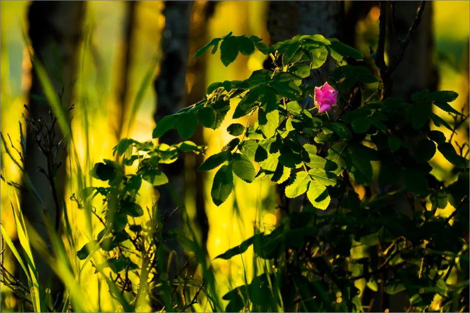 Wild rose morning in Bragg Creek - © Christopher Martin-6182