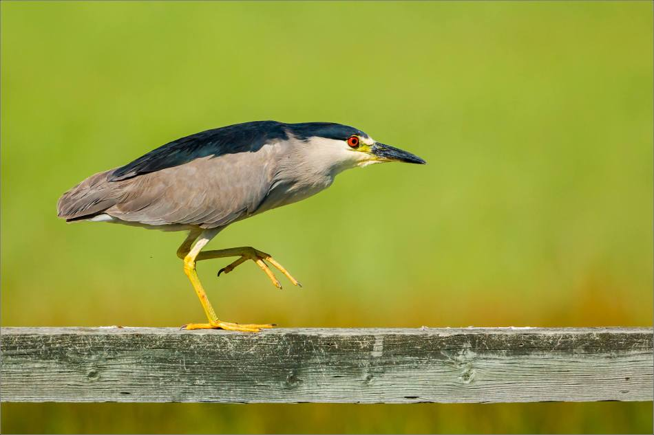 A Black-crowned night heron stalks along a fencepost.