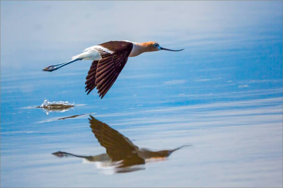 Avocet reflected in Frank Lake - © Christopher Martin-7175
