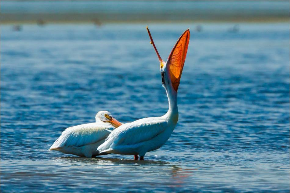 White pelicans at Frank Lake - © Christopher Martin-7668