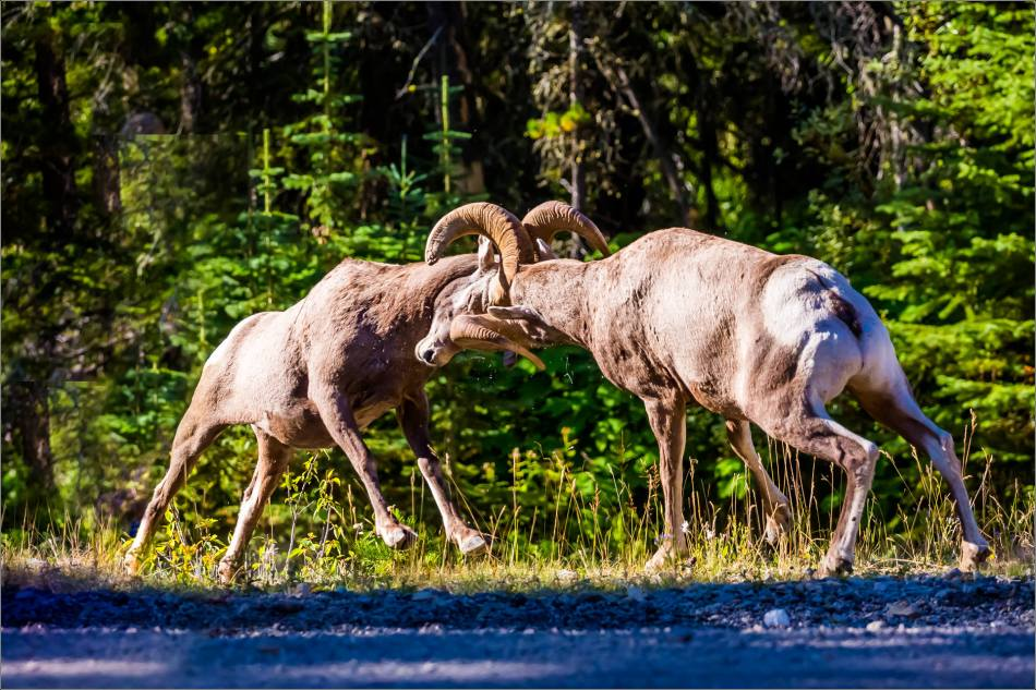 Waterton Sheep Pre-rut - © Christopher Martin-3507