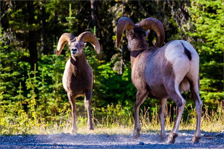 Waterton Sheep Pre-rut - © Christopher Martin-3544