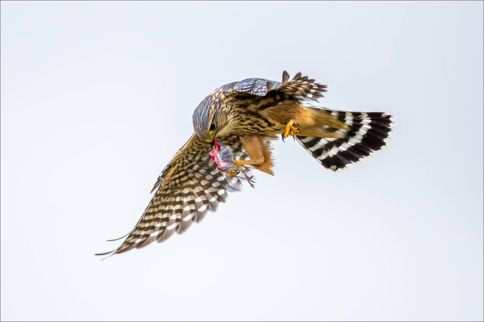 A Merlin's inflight meal - © Christopher Martin-5595