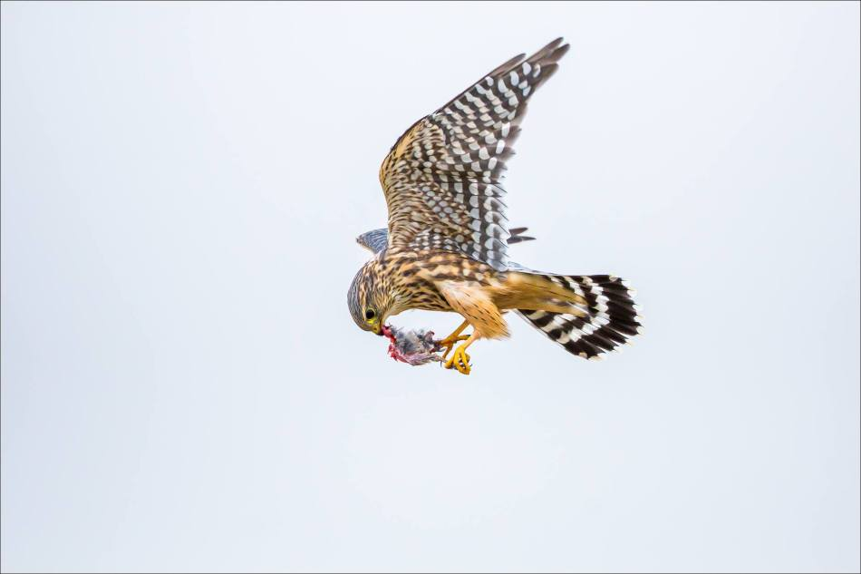A Merlin's inflight meal - © Christopher Martin-5597