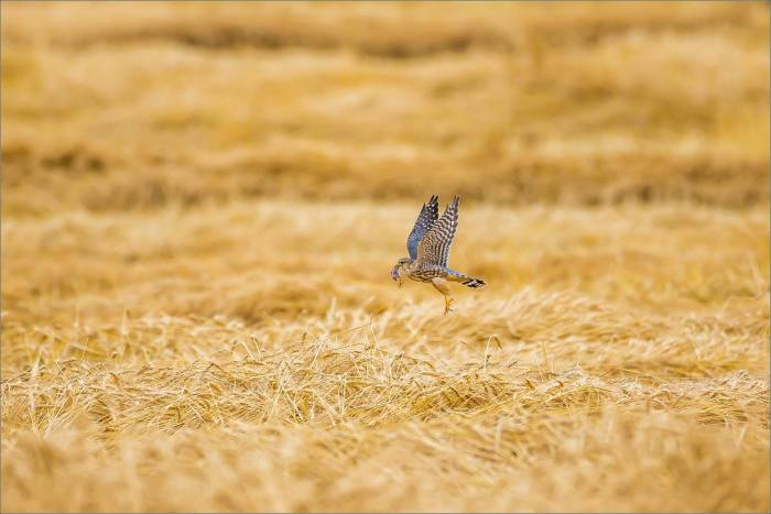 A Merlin's inflight meal - © Christopher Martin-5610-3