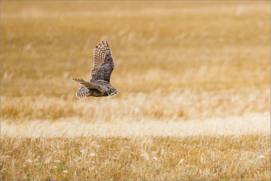 Great horned owl - © Christopher Martin-5344
