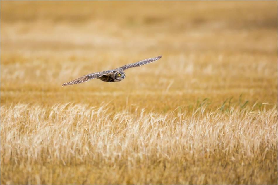 Great horned owl - © Christopher Martin-5347