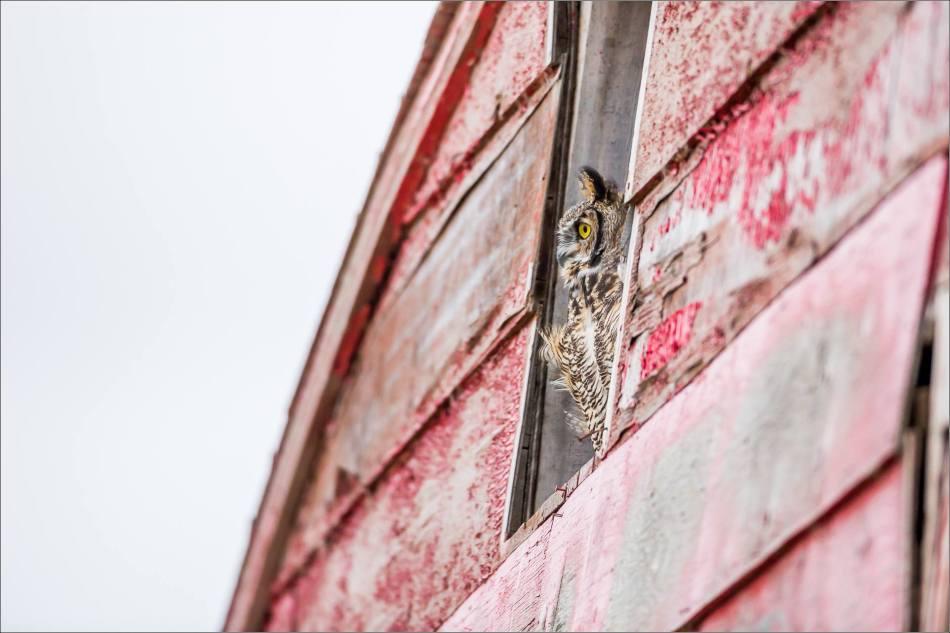 Great horned owl - © Christopher Martin-5402
