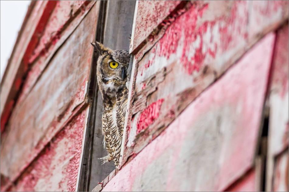 Great horned owl - © Christopher Martin-5403