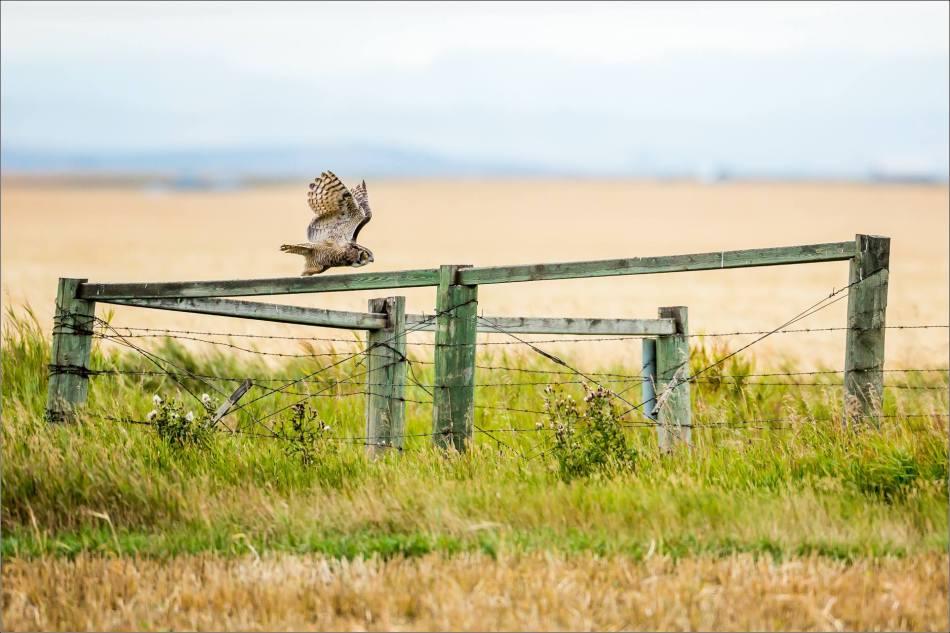 Great horned owl - © Christopher Martin-5414