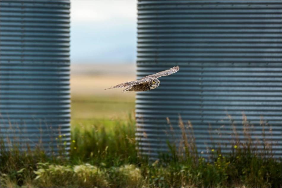 Great horned owl - © Christopher Martin-5445