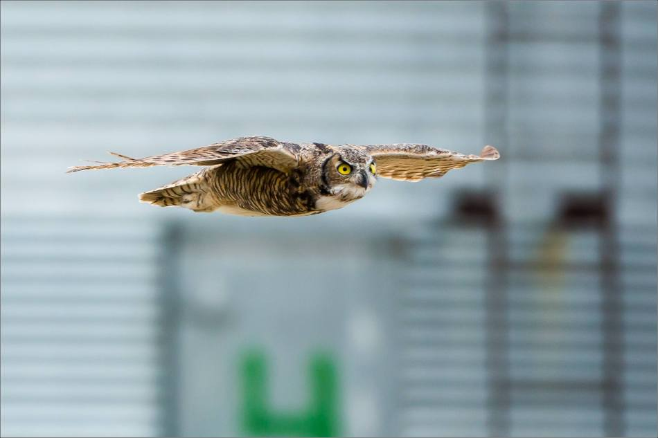 Great horned owl - © Christopher Martin-5454