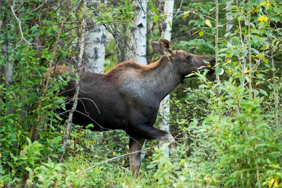 Moose calf in Bragg Creek - © Christopher Martin-4751