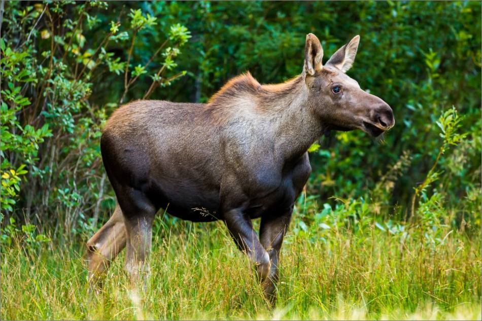 Moose calf in Bragg Creek - © Christopher Martin-4786