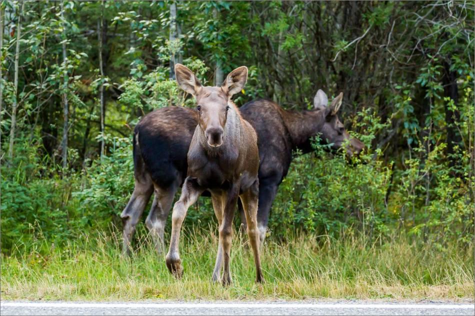 Moose calf in Bragg Creek - © Christopher Martin-4834