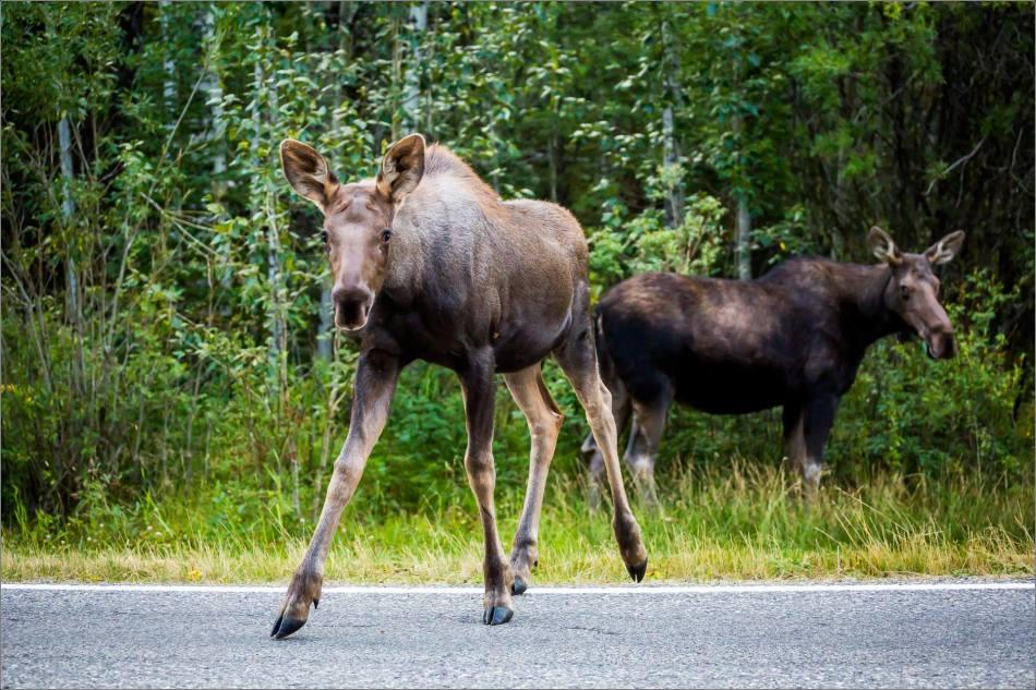Moose calf in Bragg Creek - © Christopher Martin-4846