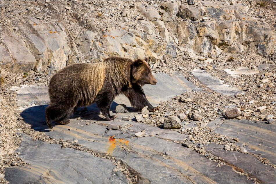 Bow Valley Grizzly Bear - © Christopher Martin-2308