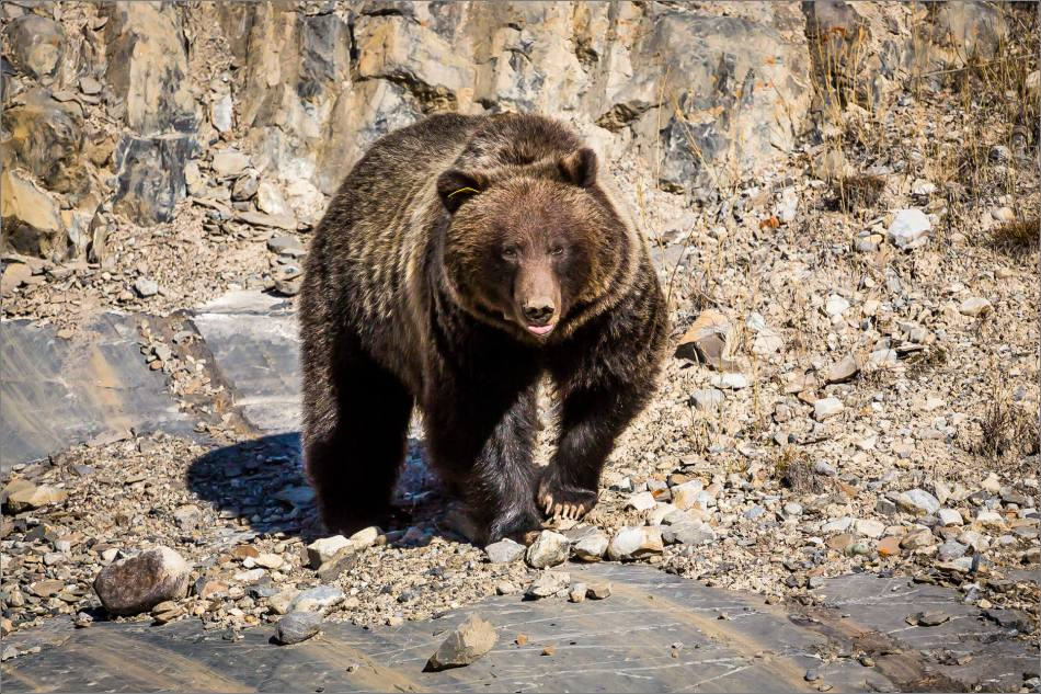 Bow Valley Grizzly Bear #148 - © Christopher Martin-2323