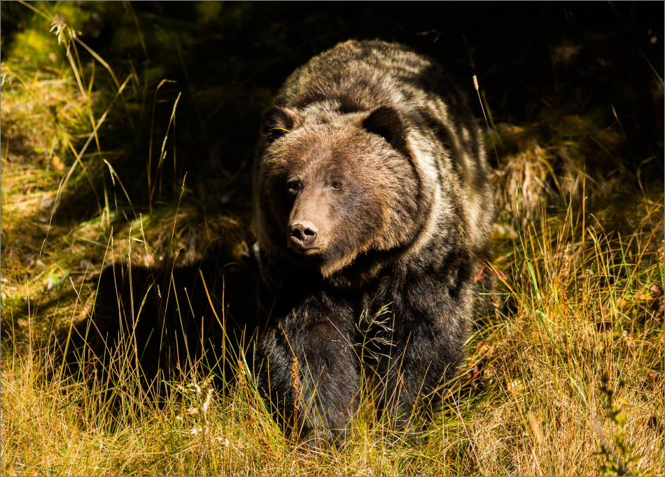 Bow Valley Grizzly Bear - © Christopher Martin-2372