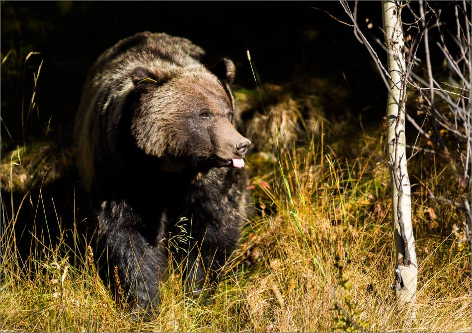 Bow Valley Grizzly Bear - © Christopher Martin-2378