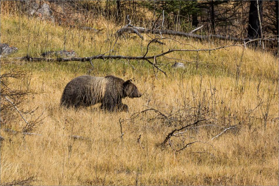 Bow Valley Grizzly Bear - © Christopher Martin-2405