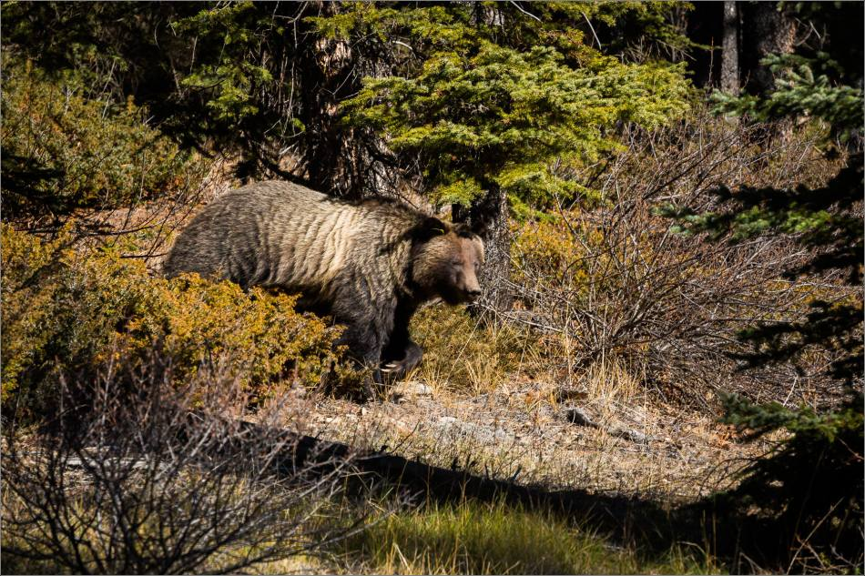 Bow Valley Grizzly Bear - © Christopher Martin-2445