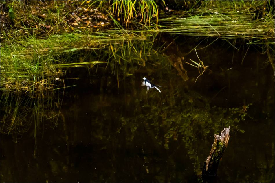 White wagtail in Yunnan - © Christopher Martin-9534