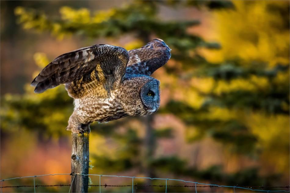 A Bragg Creek Owl - © Christopher Martin-3647