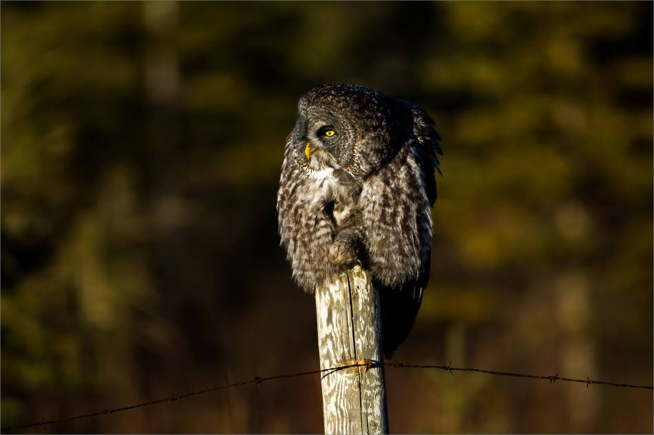 A Bragg Creek Owl - © Christopher Martin-3789