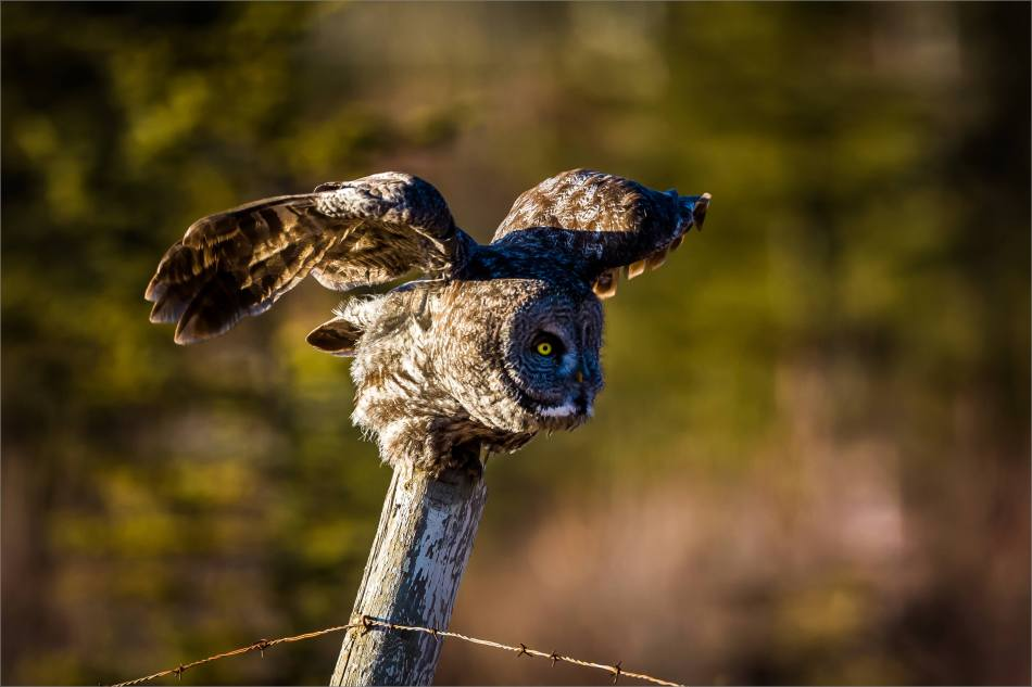 A Bragg Creek Owl - © Christopher Martin-3952