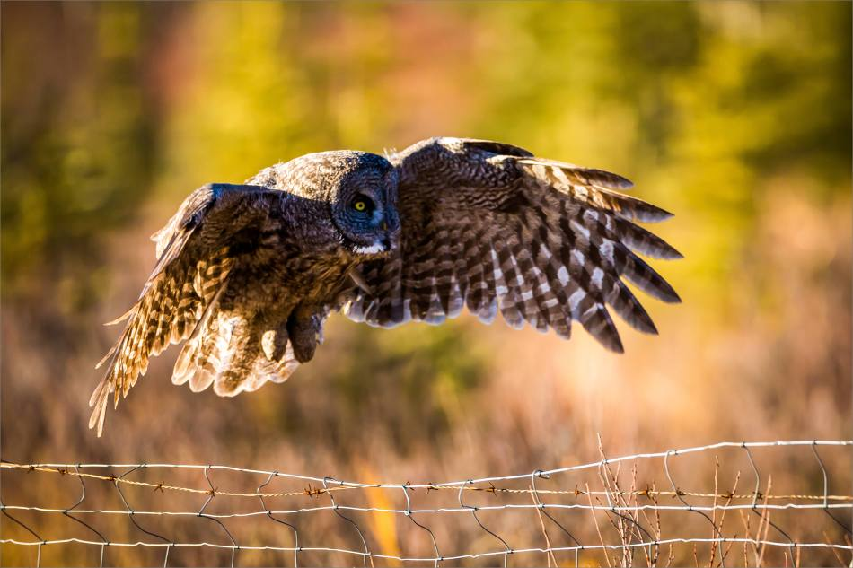 A Bragg Creek Owl - © Christopher Martin-3957