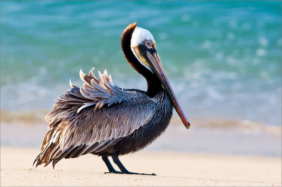 Brown Pelican on a Cabo beach - © Christopher Martin-