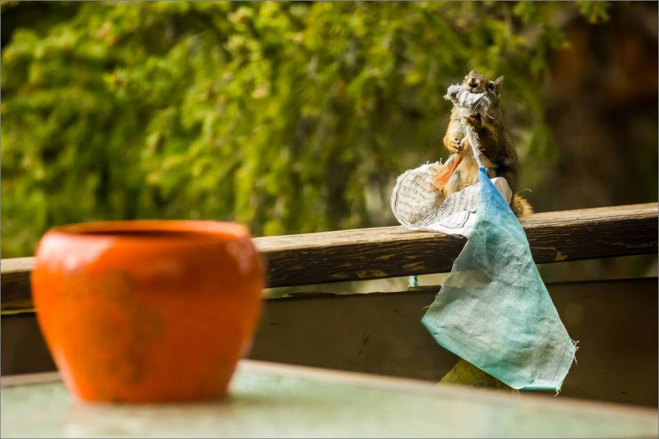 Prayer Flag Squirrel - © Christopher Martin-1375