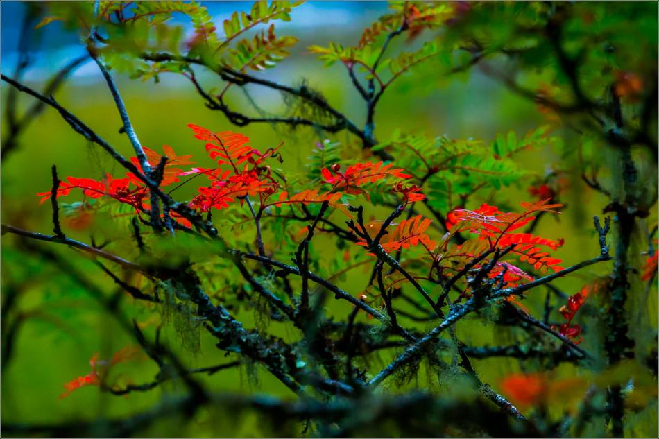 Red leaves at Shudu - © Christopher Martin-9907