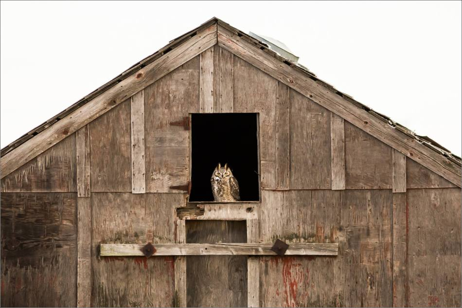 Great Horned Owl barn perch - © Christopher Martin-6822