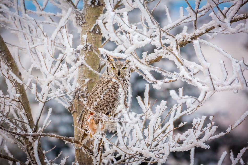 Great horned owl at Christmas - © Christopher Martin-6717