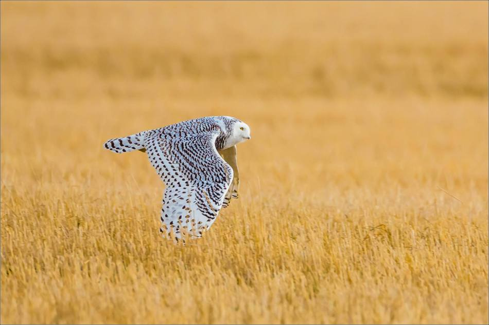 Snowy owl in the field - © Christopher Martin-6025