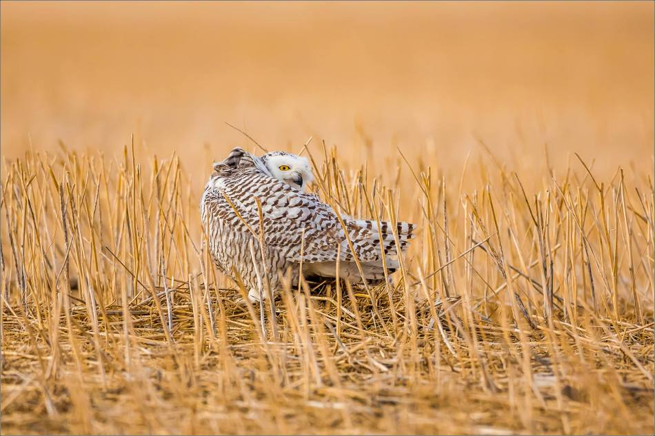 Snowy owl in the field - © Christopher Martin-6048