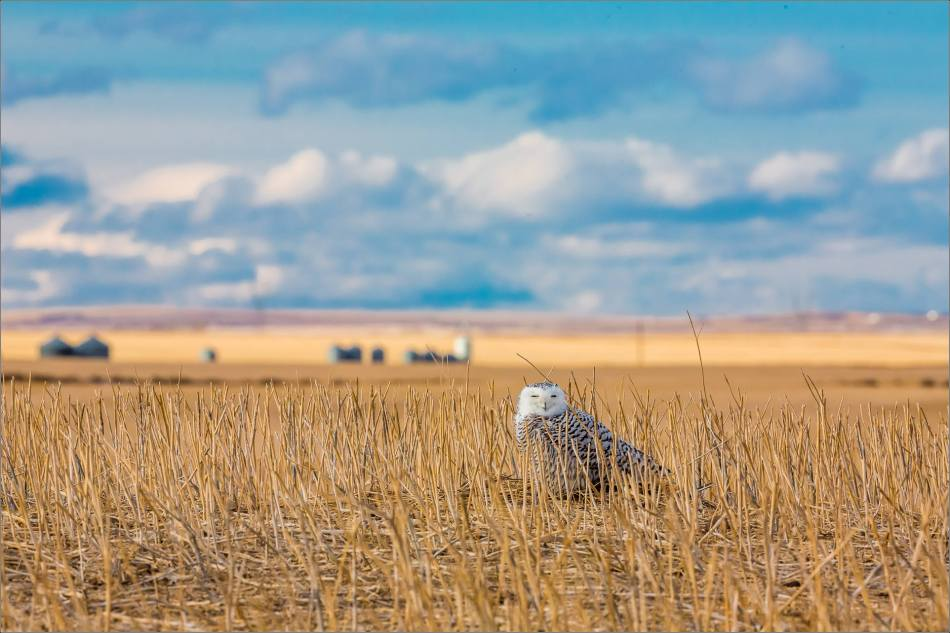 Snowy owl in the field - © Christopher Martin-6079