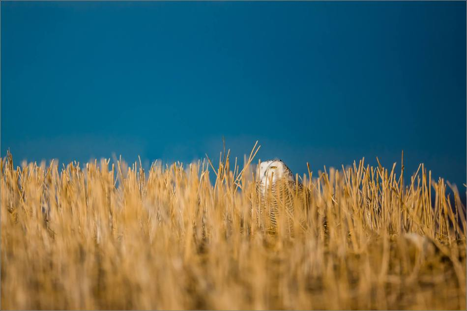 Snowy owl in the field - © Christopher Martin-6161
