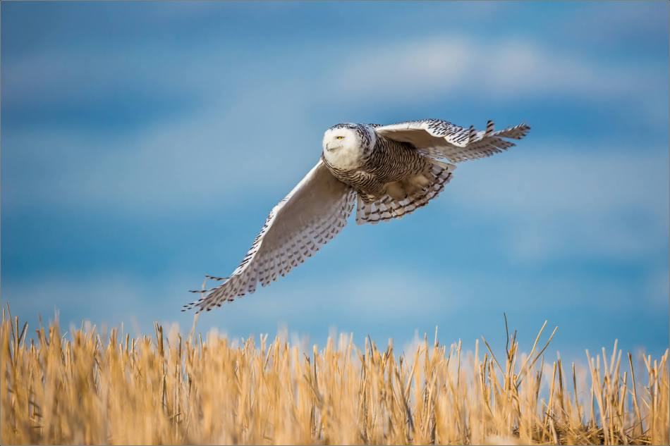 Snowy owl in the field - © Christopher Martin-6292