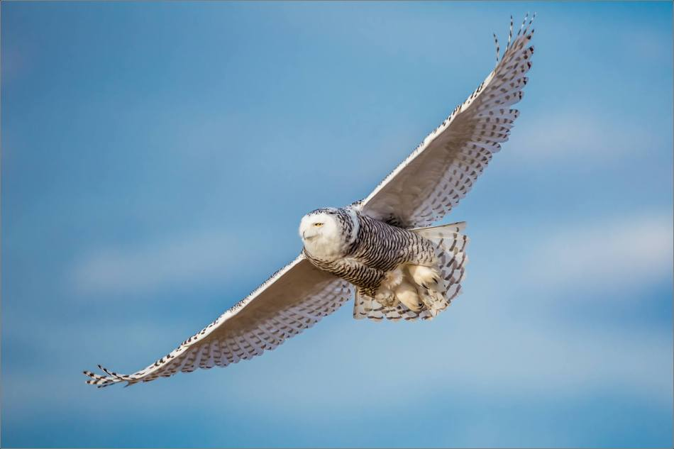 Snowy owl in the field - © Christopher Martin-6293