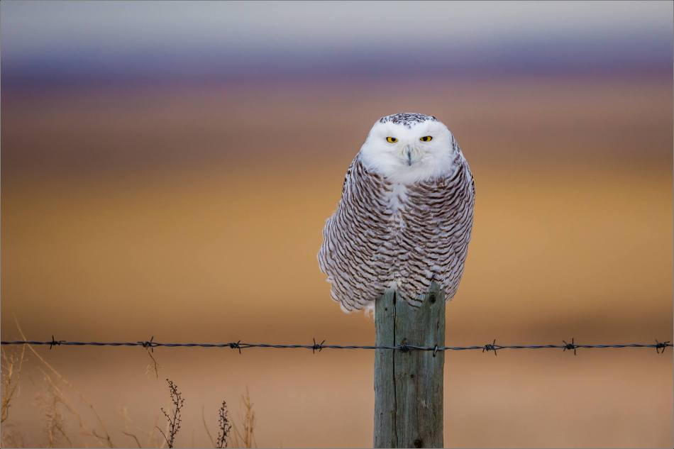 Snowy owl in the field - © Christopher Martin-4705