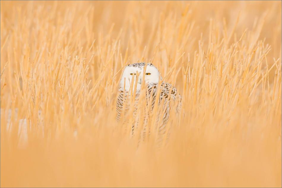 Snowy owl in the field - © Christopher Martin-5476