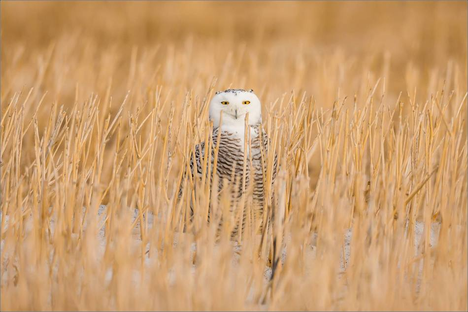 Snowy owl in the field - © Christopher Martin-5836