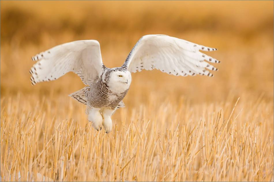 Snowy owl in the field - © Christopher Martin-5860