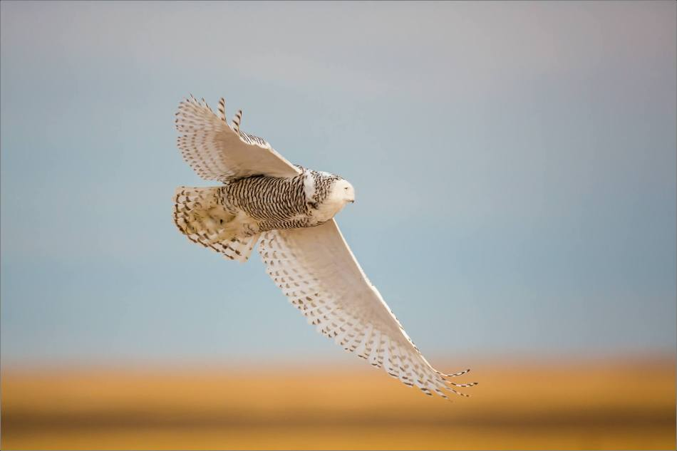 Snowy owl in the field - © Christopher Martin-5865