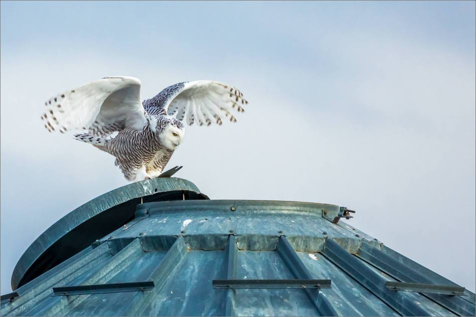 Snowy owl in the field - © Christopher Martin-5919