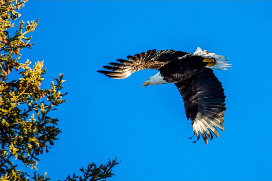 A New Year's Eve Eagle - © Christopher Martin-8568